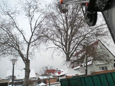 Baumfaellung im Winter